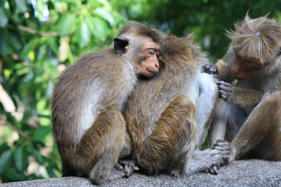 Sri-Travel-Monkey-Nature-Lanka-Animal-Sri-Lanka-2360018.jpg