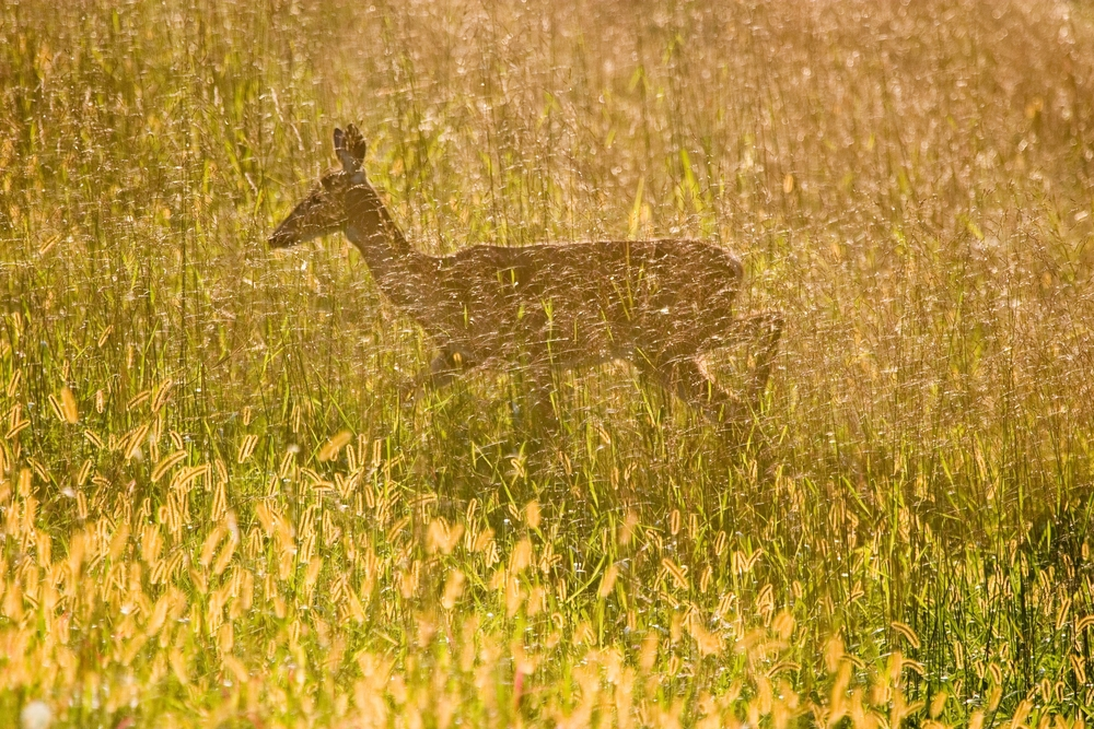 September Deer 1035