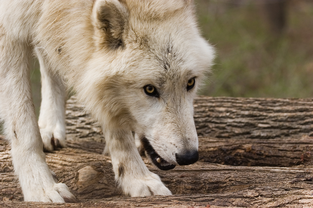 Wolf Eyes 1096