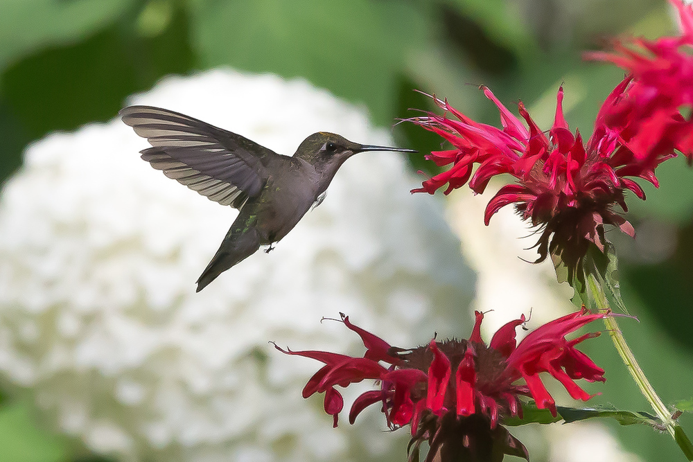 Hummer and Hydrangea 1132