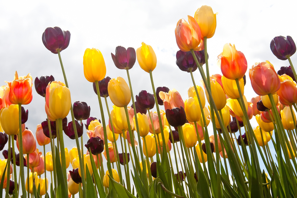 Sky Tulips 1031