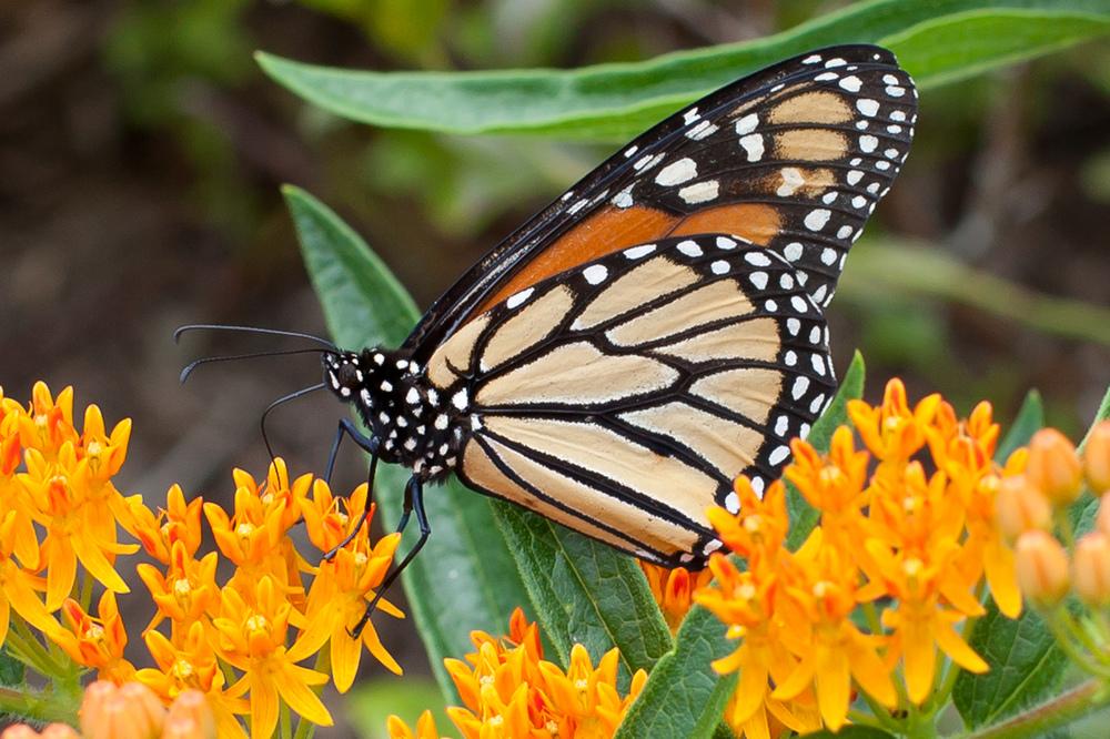 Monarch 1112