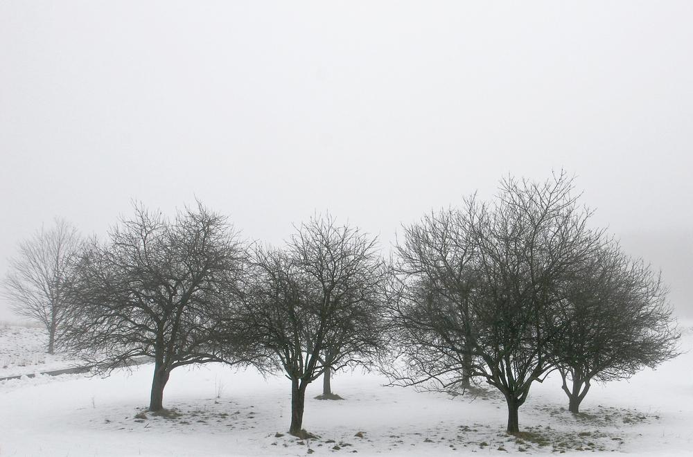 Crabapple Trees 1014