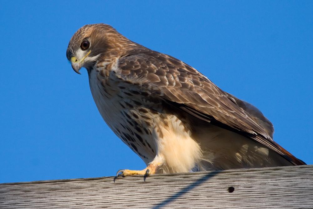 Red Tail Hawk 1038