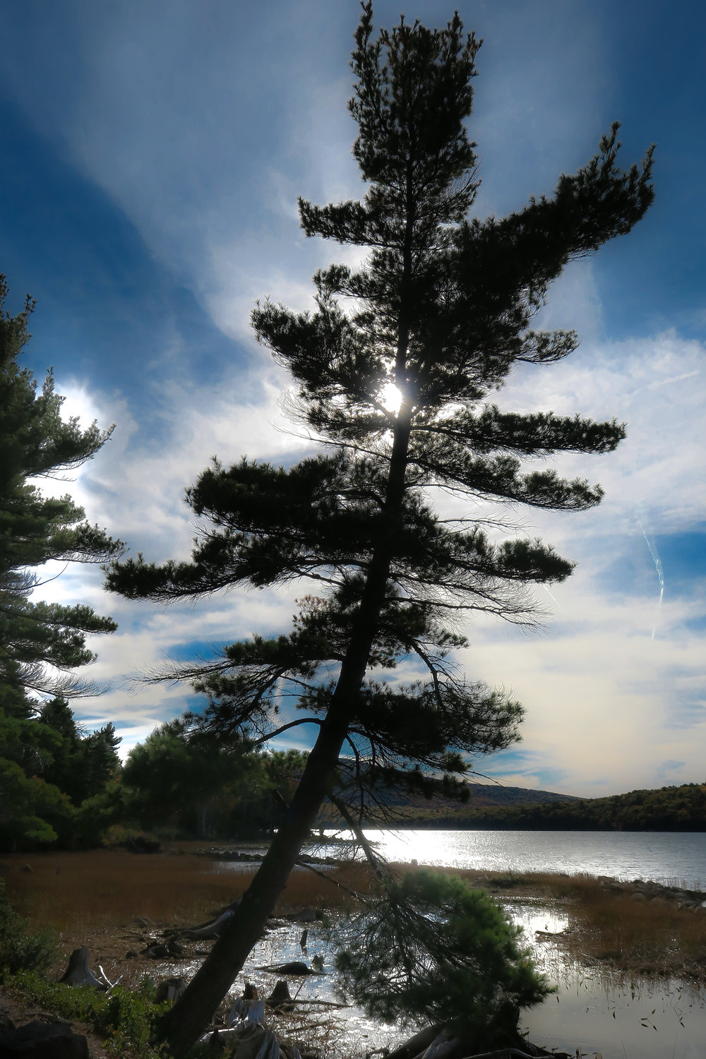 Leaning Pine 1168