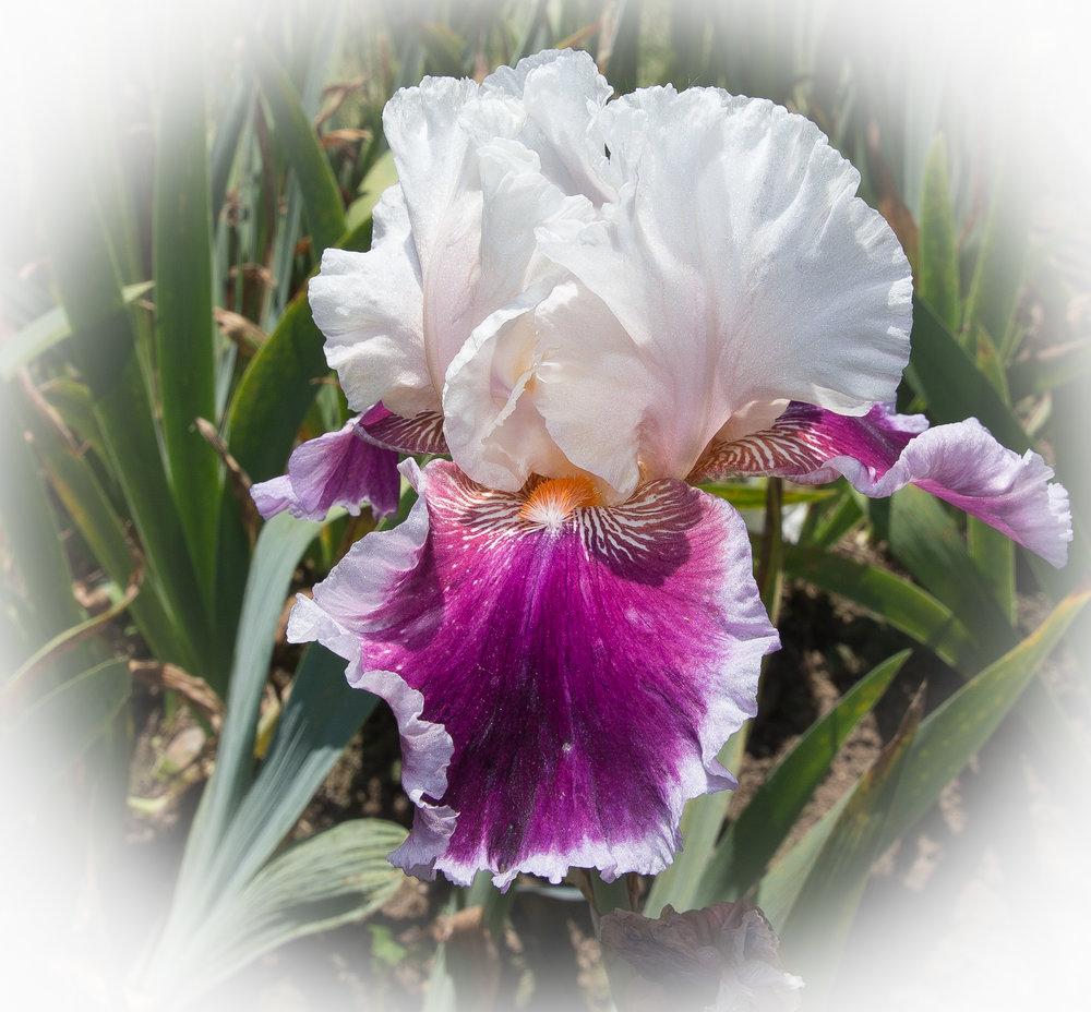 Presby Iris # 1 1198