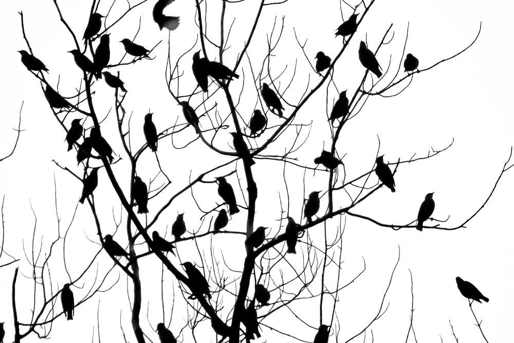 Blackbirds 1127