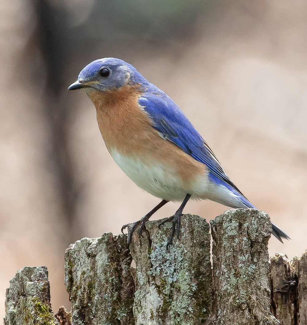Bluebird9-.jpg