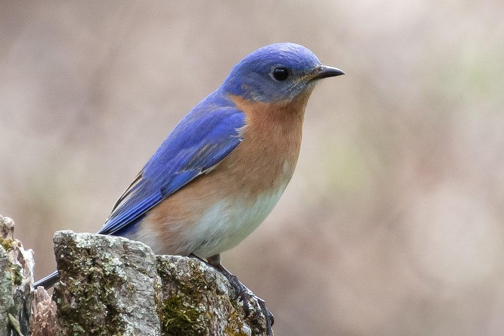Bluebird12-.jpg