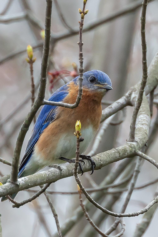 Bluebird10-.jpg