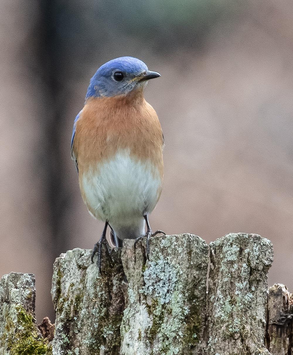 Bluebird13A-.jpg