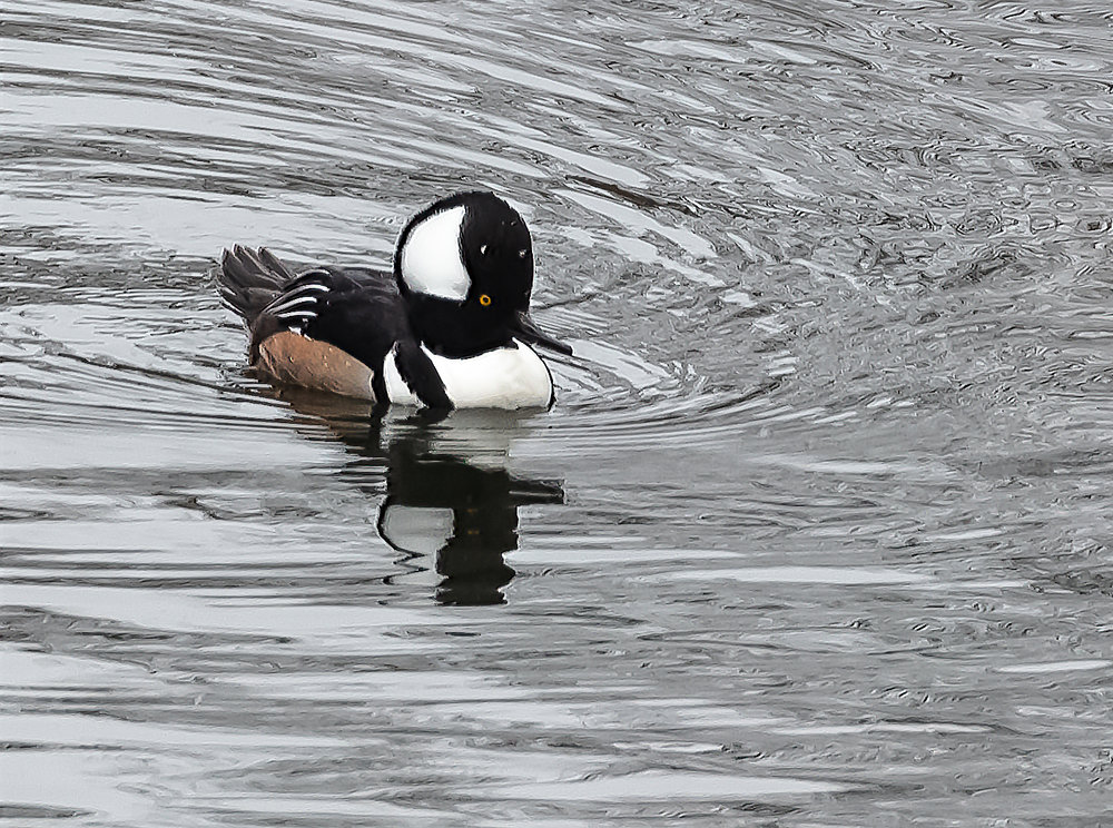 Male Merganser