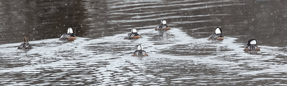 Mergansers Making Waves