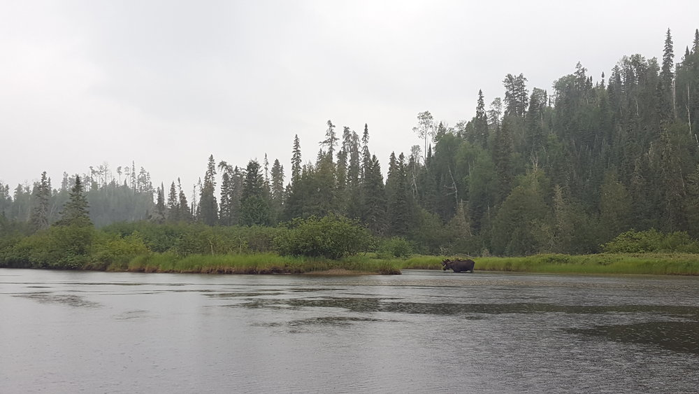 The moose that kept our spirits alive during the rain