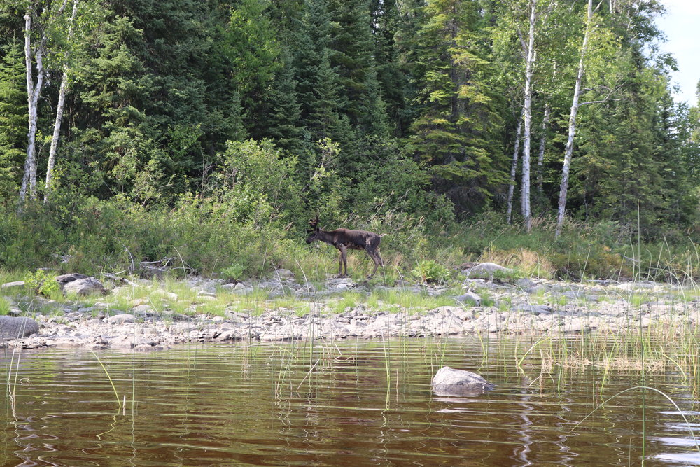 A friendly Caribou on Whitewater Lake