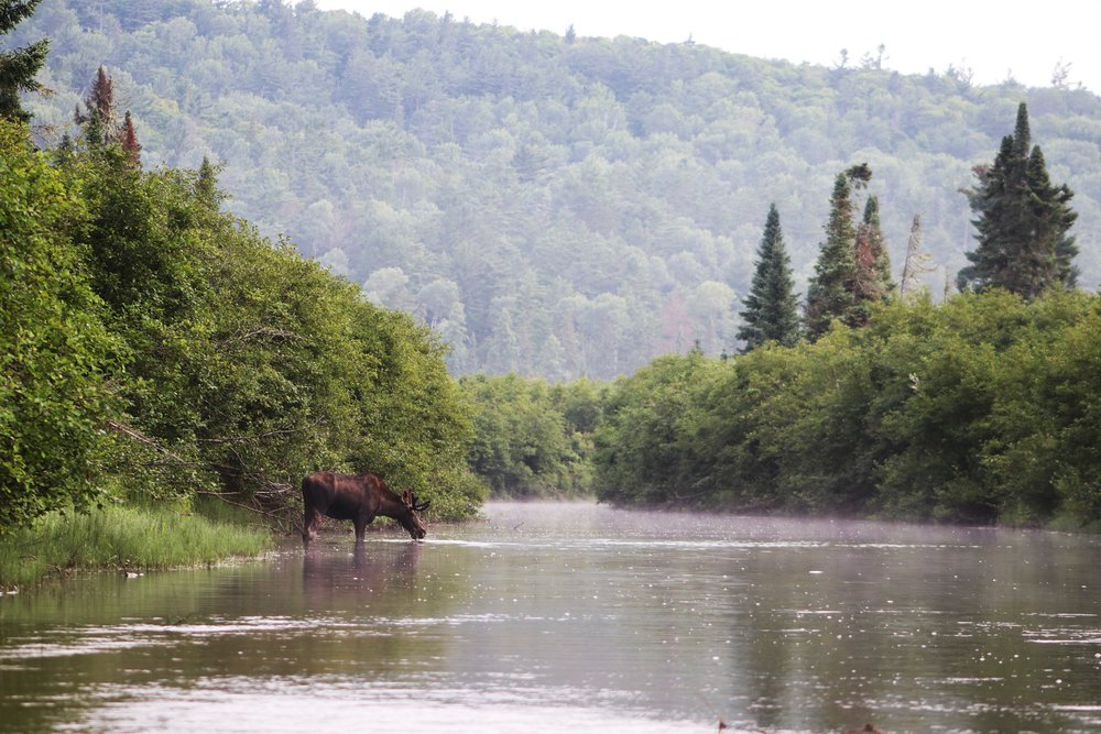 "Our first of 5 moose sightings along the Nipissing River. Noah mentioned ""There is a real moosy vibe this morning"""