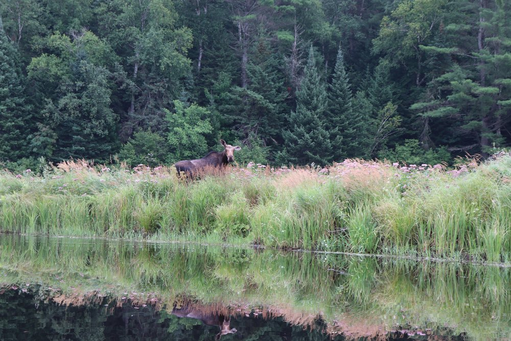 Another moose, or meece as we like to call them