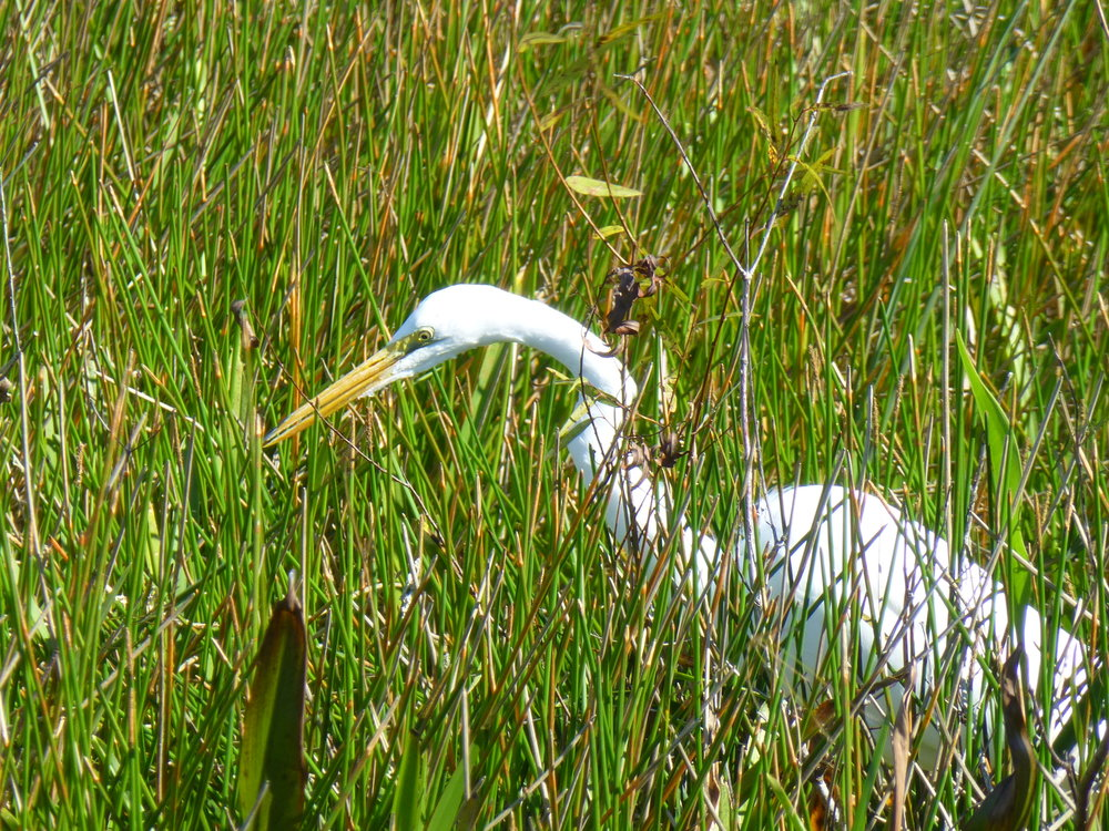 egret, Everglades National Park