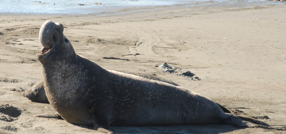 Elephant Seal at Piedras Blancas