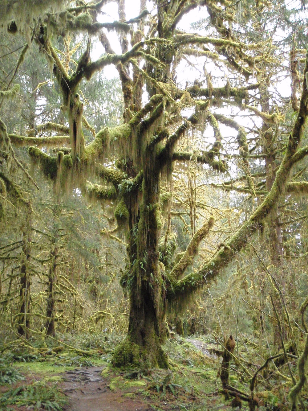 The quiet Hoh River Rain Forest