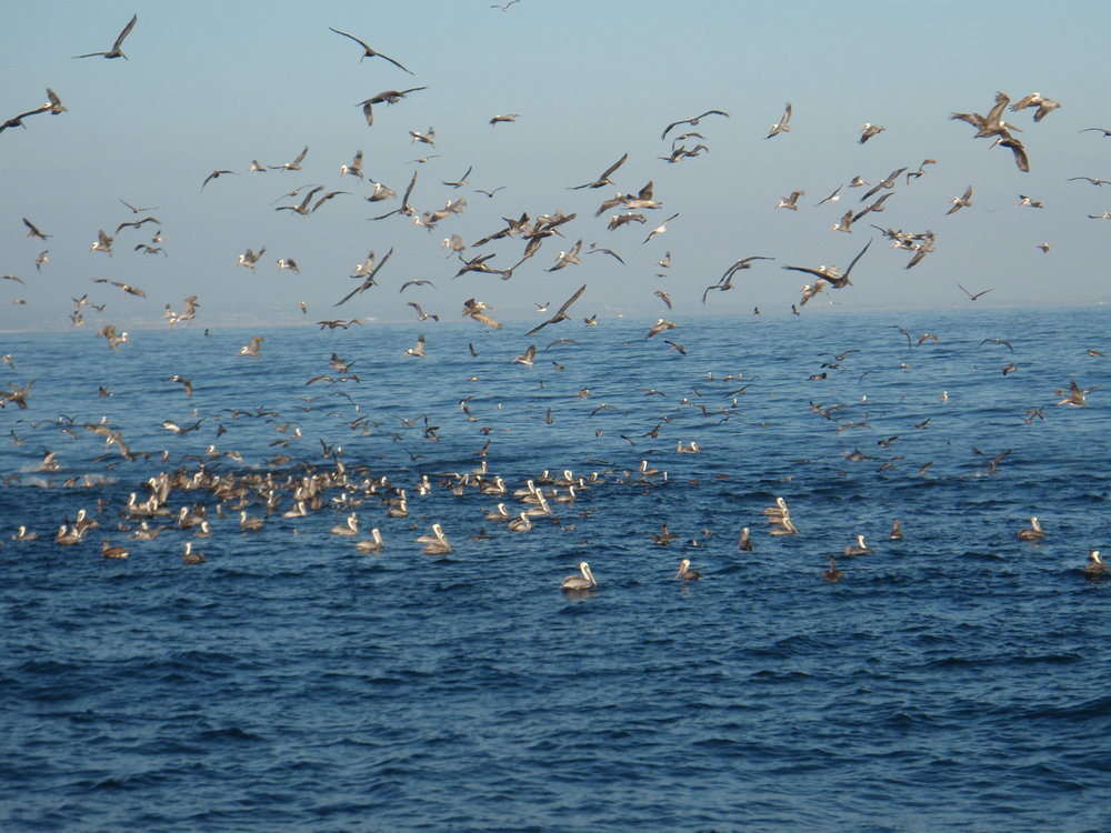 Feeding freenzy in the Santa Barbara Channel