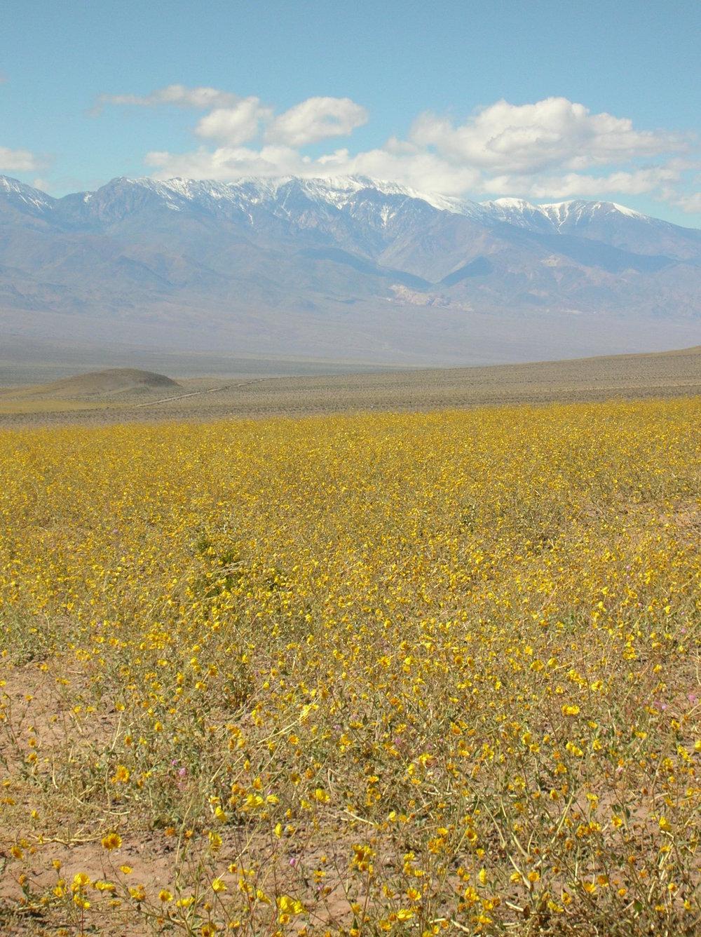 Super bloom in Death Valley National Park
