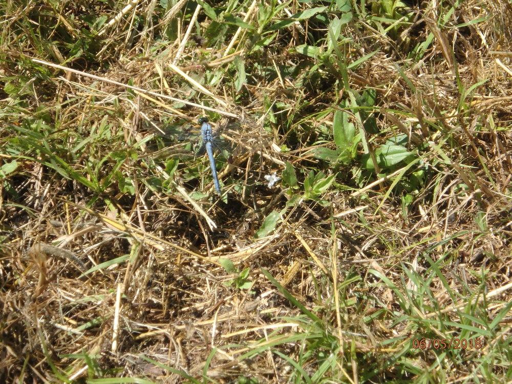 6.5.18 TOF Blue Dragonfly.JPG