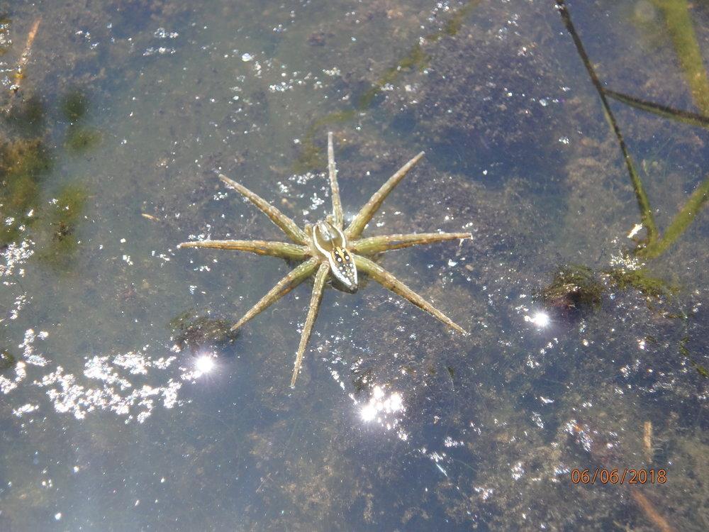 6.6.18 Fishing Spider.JPG
