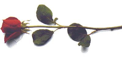 horizontal-rose.jpg