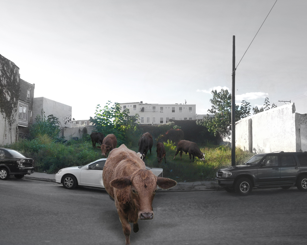 05_Farma_urban-cows.jpg