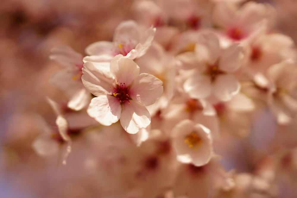 cherry-blossom-499398_1280.jpg
