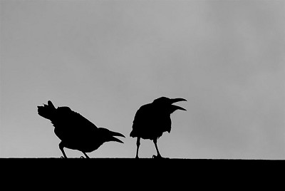 Ravens - photo by Eyal Shochat