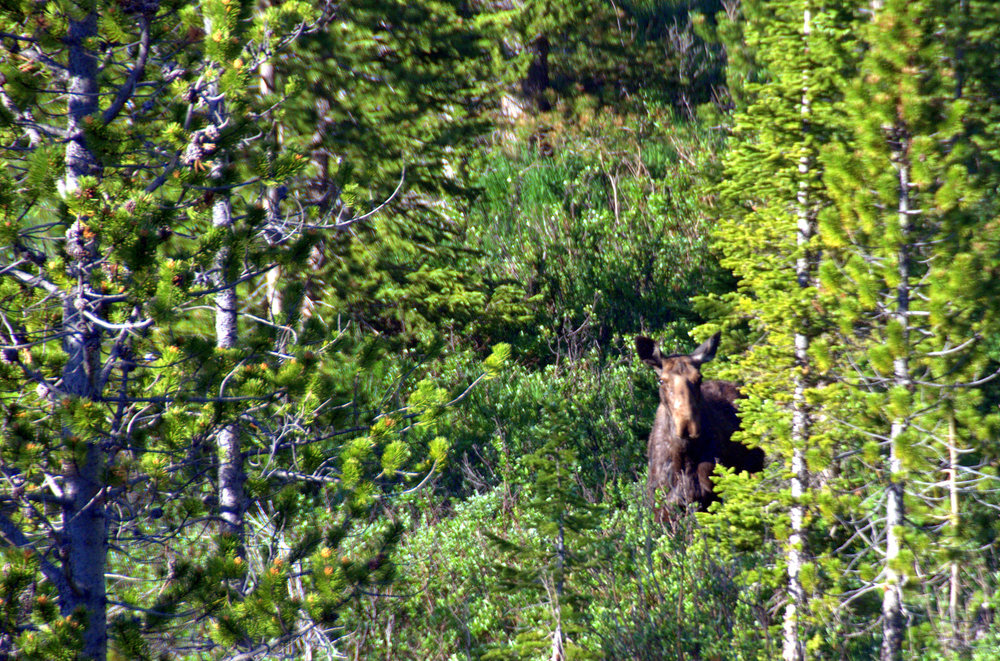 Not the best photo- not even close! But for all the time I spend in the wild, this is the only moose I have ever seen! It was super exciting.