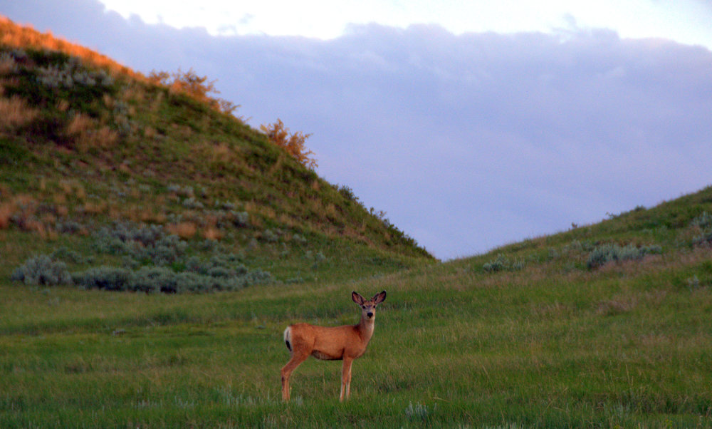 Just the perfect moment in time captured. This was in North Dakota. I like this photo so much, but there really is not any good story behind it. We had just arrived at our car and this deer was watching us.