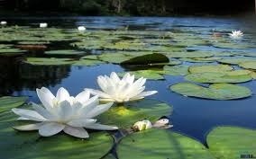 Pond with lotus blossom.jpg