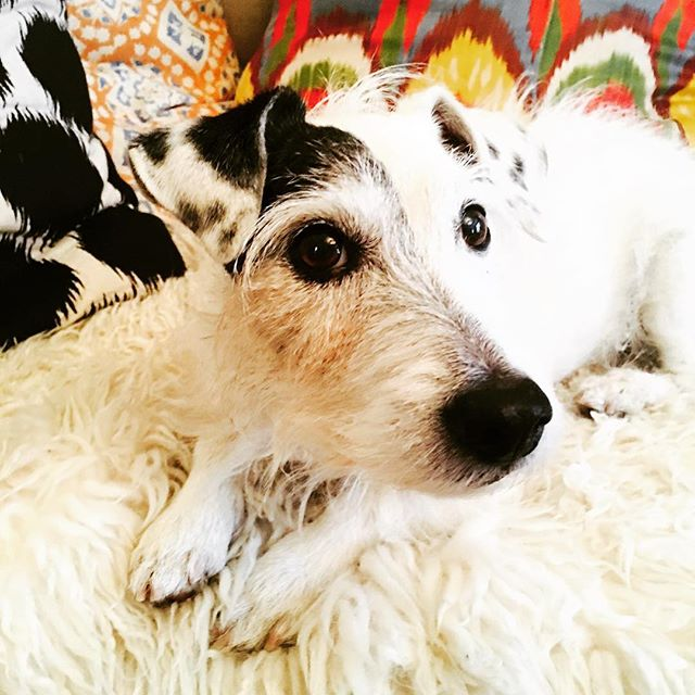 Sunday morning portrait ❤️my baby dash . Such a cute face ! Xo#dogsrule #love #sharingthelove #jackrussell