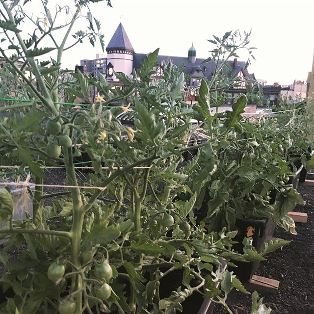 We've expanded our growing footprint this summer to our roof! Our #farmshare members have been enjoying 🍅 all summa! We've got even more coming for the fall along with spinach, 🥕, & beets. #rooftopfarm #brooklinegrown #garagelife