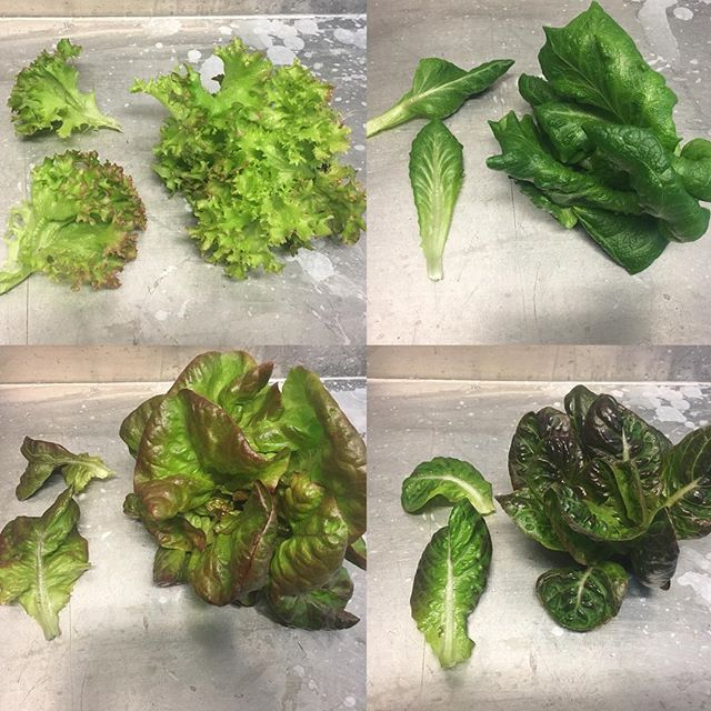 Finally some models we can work with; our lettuce had their own little photoshoot yesterday. More shots at greenlinegrowers.com/growing