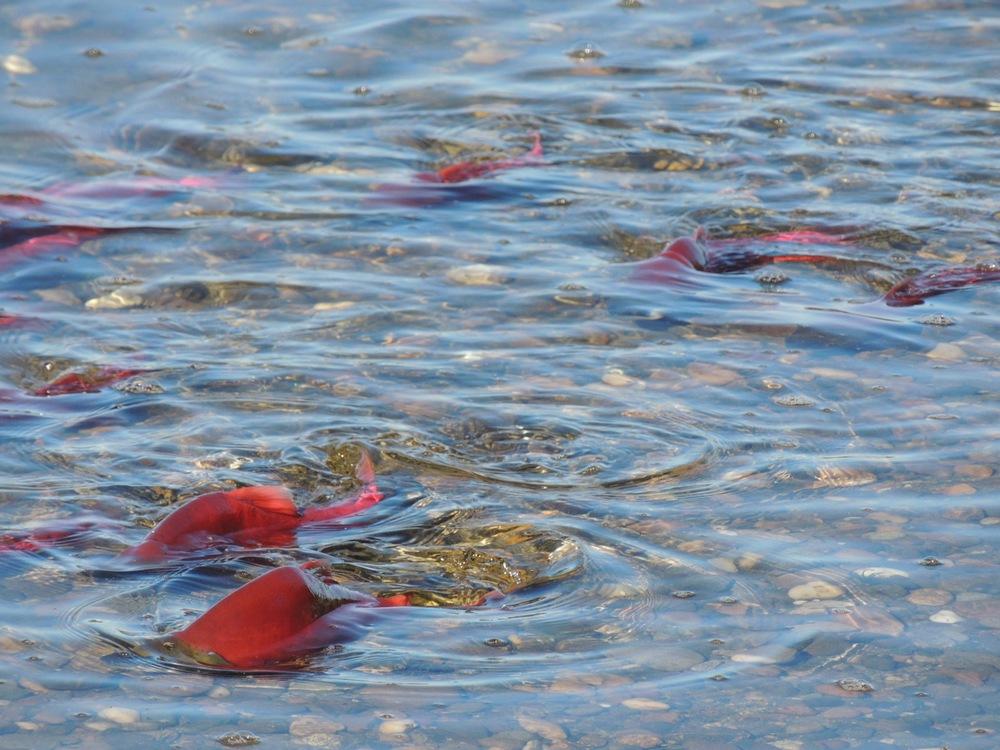 Kokanee spawning