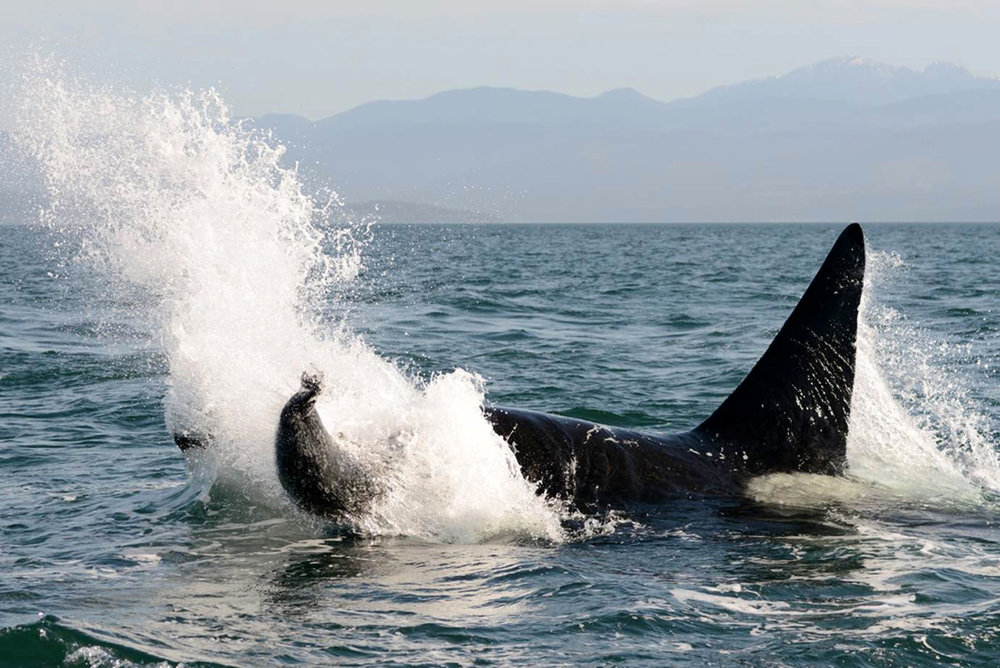 Orca predation picture.jpg