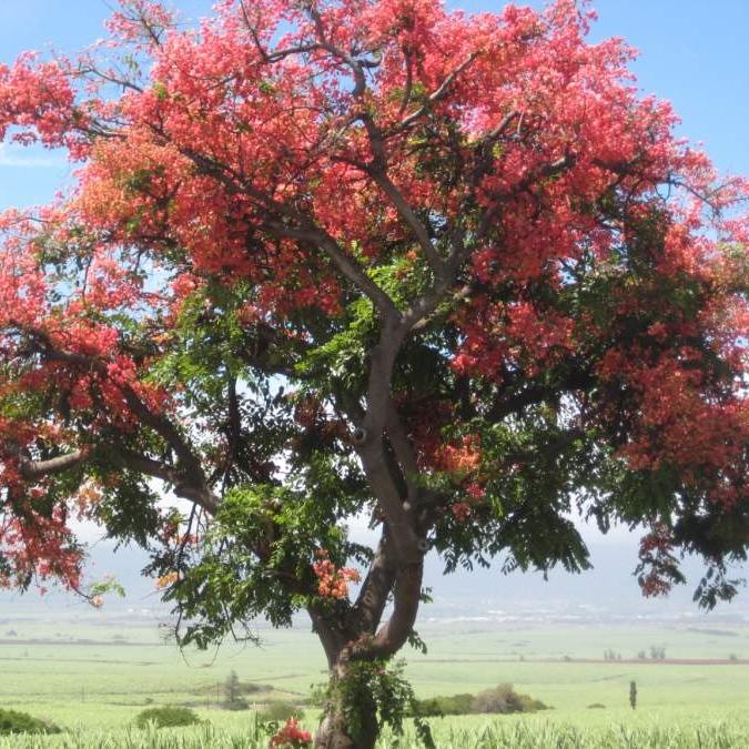 hawaiian-shower-tree.jpeg