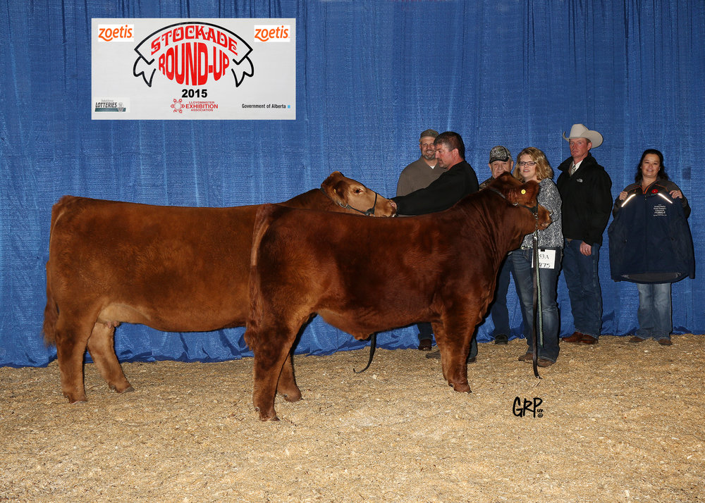 2015 Grand Champion Limousin Female exhibited by  GREENWOOD LIMOUSIN AND ANGUS