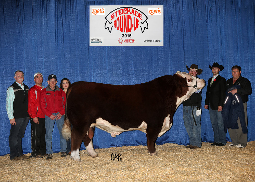 2015 Grand Champion Polled Hereford Bull exhibited by  THE CLIFFS FARM