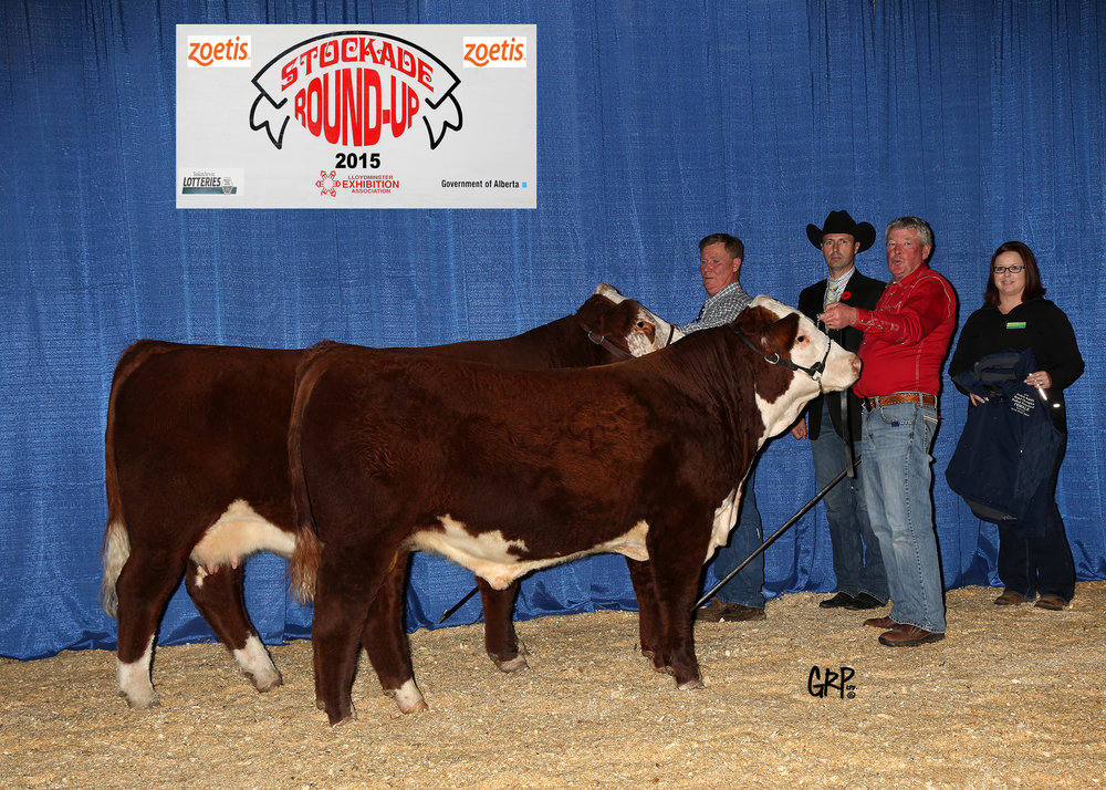 2015 Grand Champion Polled Hereford Female exhibited by DOUBLE J POLLED HEREFORDS