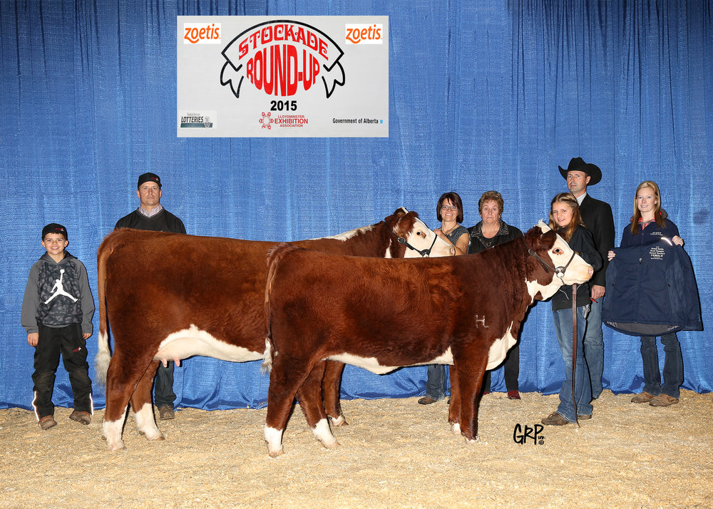 2015 Grand Champion Horned Hereford Female exhibited by  TOP 50 LIVESTOCK