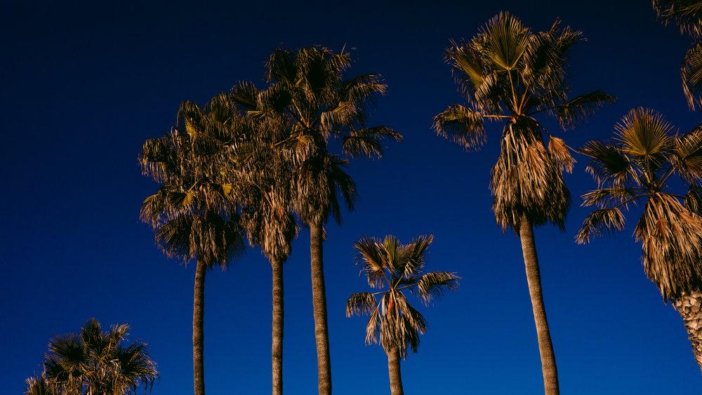 san diego wedding   photographer | palm trees against the clear blue sky