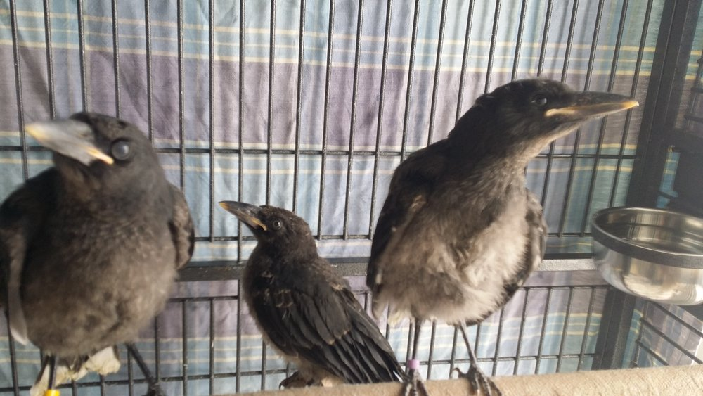 Juvenile Currawongs