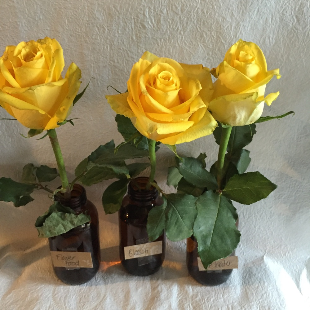 Rose 2 (bleach) is much more open than the others by day 5