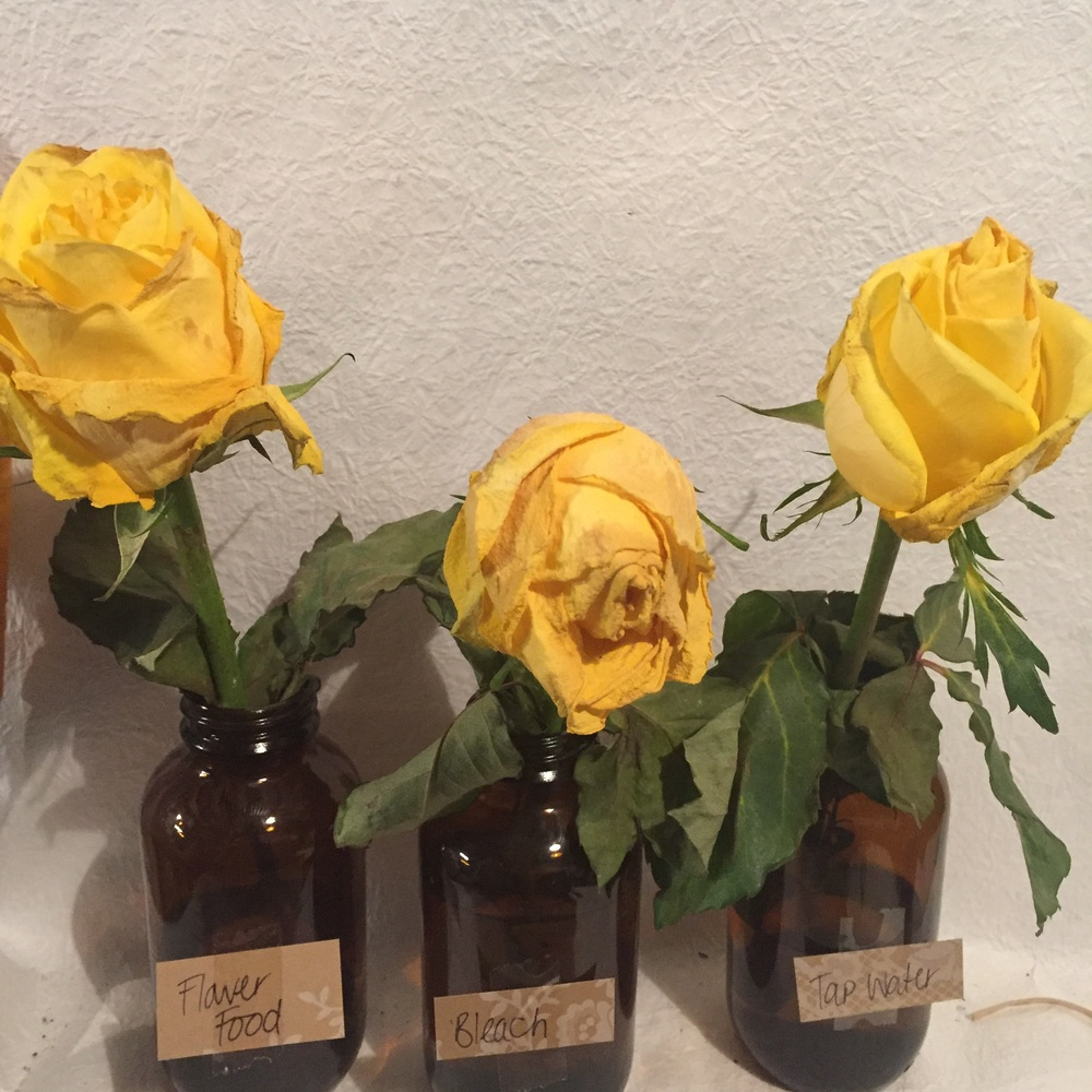 Day 14 - Rose 2 has completely gone & Roses 1&3 are starting to turn brown at the edges and are both fully blown