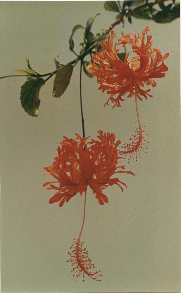 Yinxian Wu,  Chinese Hibiscus , 1977, chromogenic colour print, 16.8cm x 27.2 cm